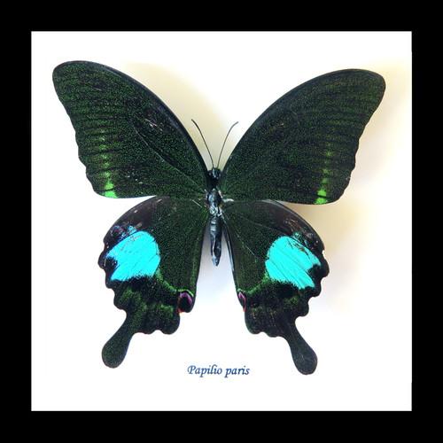 Papilio paris Bits&Bugs