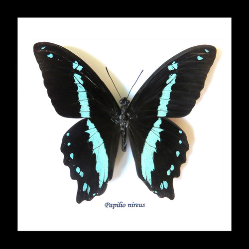 Real butterfly frame Papilio nireus Bits & Bugs