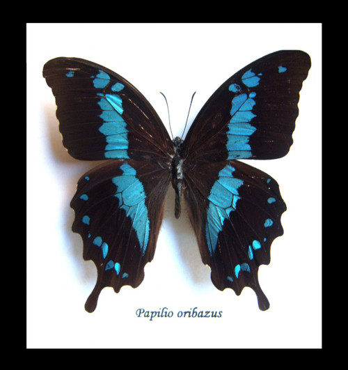 Butterfly insect Papilio orizabus Bits&Bugs