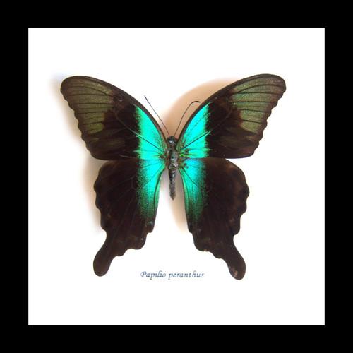 Papilio peranthus adamantius Bits&Bugs