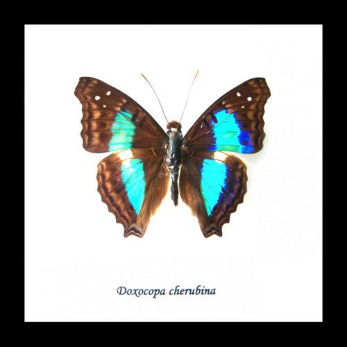 Doxocopa cherubina Bits & Bugs