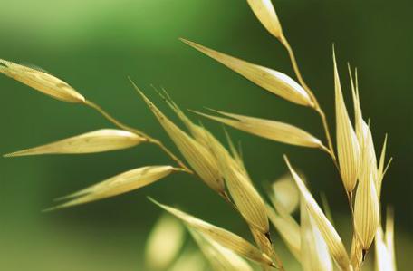 Thành phẩn chiết xuất lúa mạch trong kem chống nắng Aveeno