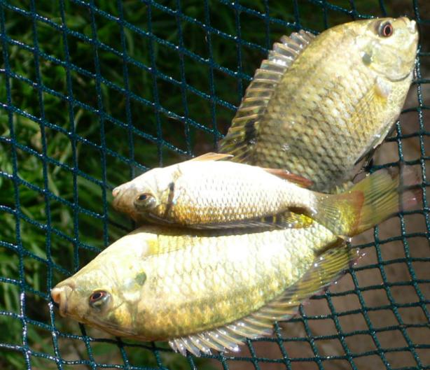 Aquaponics miracle fish tilapia rendalli myaquaponics for Tilapia aquaponics