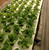 Lettuce grown in our Johannesburg commercial aquaponics system