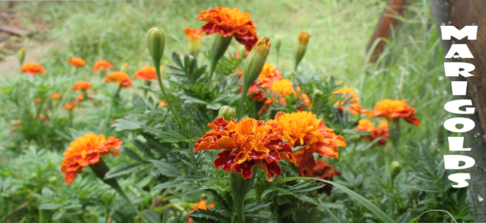 marigold-category-banner.png