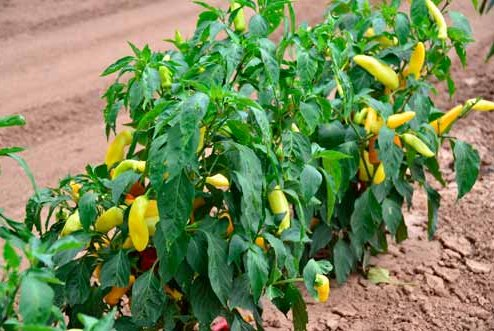 wax-peppers-tbg0313.jpg