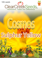"Cosmos Sulphur ""Yellow"" (100+ seeds)"
