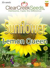 """Sunflower """"Lemon Queen"""" (30+ seeds)"""