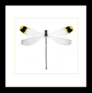 Nine50 Framed Microstigma rotundatum damselfly