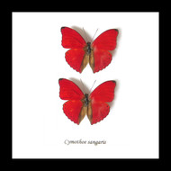 Nine50 Framed Butterfly Cymothoe sangaris x 2