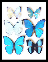 Morpho Collection