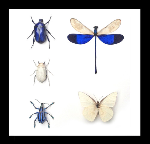 Nine50 Blue/White Insects