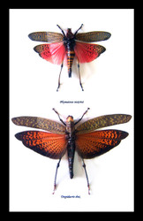 Nine50 Phymateus saxosus ( top ) Tropidacris dux ( bottom )