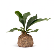 Kokedama Large Staghorm  6''