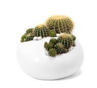 Paloma Rock Large White - Barrel Cactus LOCAL DELIVERY ONLY