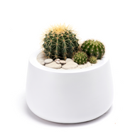 Milano Short Small  White - Barrel Cactus LOCAL DELIVERY ONLY