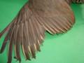 Grade 1 - Chukar Partridge