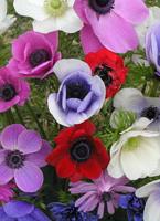 anemones-c.jpg