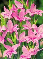 baby-gladiolus-c.jpg