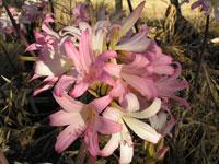 belladonna-lilies-c.jpg