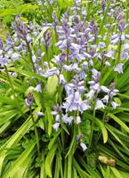 blue-bluebells-scillas-c.jpg