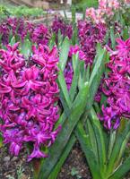 hyacinths-c.jpg