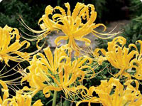 lycoris-aurea-c.jpg