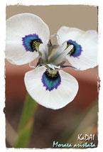 peacock-iris-c.jpg