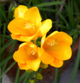Yellow - Single Freesias