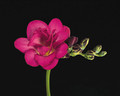 Hot Pink - Double Freesias