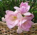 Pale Pink - Double Freesias