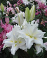 Twinkle Star - Double Lilium