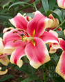African Lady - Oriental Trumpet Lily