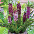 Eucomis Ian's Super Mix - Pineapple Lilies