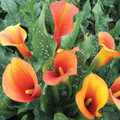 Picante Calla Lilies - Zantedeschias