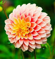 Sunset - Ball Dahlia
