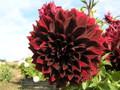 Thelma Maude - Giant Dahlia