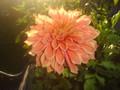 Winkie Whopper - Giant Dahlia