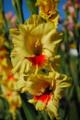 Jester - Gladiolus