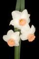 Foundling - Miniature Daffodil
