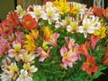 Alstromeria Mixed Colours