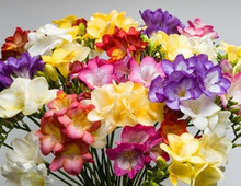 Garden Massing Freesias