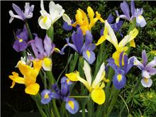 Dutch Iris Mixed Colours