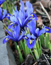 Reticulata Harmony (Dwarf Iris)