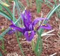Reticulata JS DIJT (Dwarf Iris)