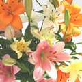 Mixed Asiatic Liliums