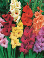 Mixed Gladiolus