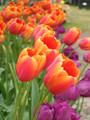 Bulk Tulips - Batavia