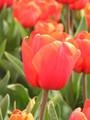 Bulk Tulips - Connoisseur