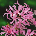 Winter Cheer - Nerine